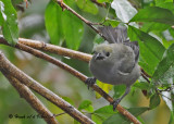 20090212 CR # 1 1695 Palm Tanager.jpg