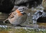 20090212 CR # 2 402 Rufous-collered Sparrow SERIES.jpg