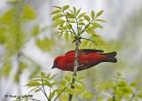 20090522 024 Scarlet Tanager.jpg