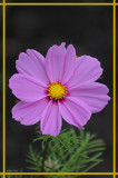 20080606 580 Cosmos.jpg