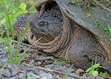 20090613 073 Snapping Turtle - SERIES.jpg
