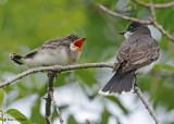 20090714 157 Eastern Kingbirds - SERIES.jpg