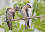 20090718 362 Purple Martins - SERIES.jpg