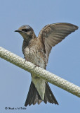 20090725 005 Purple Martins.jpg
