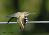 20090801 189 Ruby-throated Hummingbird.jpg