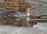 20090413 117 Red-breasted Merganser (F).jpg