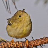 20091112 212 Blackpoll Warbler.jpg