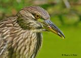 20090824 339 Black-crowned Night-Heron (juv).jpg