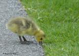20090514 091 Canada Goose-Gosling.jpg