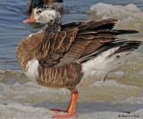20090327 031 Canada Goose Goose Hybrid - SERIES.jpg
