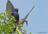 20090725 155 Purple Martins.jpg