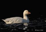 20091117 301 Snow Goose4.jpg