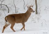 20091210 041 White-tailed Deer.jpg