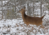 20091210 141 White-tailed Deer.jpg