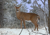 20091214 030  White-tailed Deer.jpg