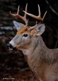 20091201 057 White-tailed Deer.jpg