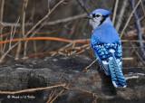 20091130 167 Blue Jay.jpg