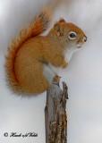 20091214 030 Red Squirrel .jpg