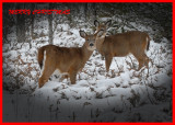 20091210 137 White-tailed Deer.jpg