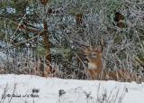20091214 053 White-tailed Deer SERIES.jpg