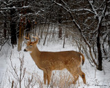 20091215 085 White-tailed Dear.jpg