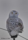 20091222 248 Snowy Owl.jpg