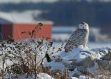 20091222 093 Snowy Owl - SERIES.jpg