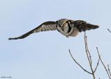 20081216 366 Northern Hawk Owl.jpg