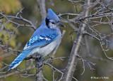 20091130 239 Blue Jay.jpg