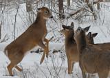 20100102 029 White-tailed Deer SERIES.jpg