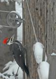 20100101 005 Pileated Woodpecker SERIES.jpg