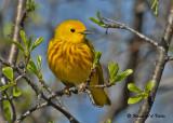 20090504 060 Yellow Warbler.jpg