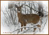 20100102 039 White-tailed Deer SERIES.jpg