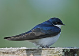20090508 181 Tree Swallow SERIES.jpg