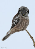 20090117 048 Northern Hawk Owl.jpg