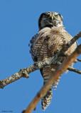 20081208 368 Northern Hawk Owl.jpg