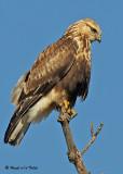 20081119 199 Rough-legged Hawk.jpg