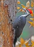 20091106 977 Pileated Woodpecker.jpg