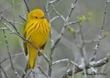 20090501 176 Yellow Warbler.jpg