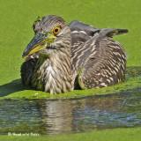 20090824 433 Black-crowned Night-Heron juv.jpg