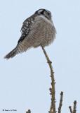 20090117 011 Northern Hawk Owl.jpg