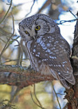 20100121 217 Boreal Owl.jpg