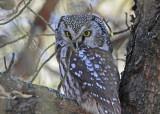 20100121 069 Boreal Owl.jpg