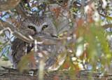 20100121 058 Northern Saw-whet Owl.jpg
