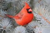 20100126 140 Northern Cardinal (M).jpg