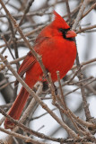 20100126 130 Northern Cardinal (M) SERIES.jpg