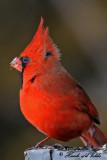 20100126 242 Northern Cardinal (M).jpg