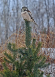 20100204 041, 63 Northern Hawk Owl.jpg