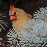 20100202 557 Northern Cardinal (F) SERIES.jpg