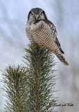 20100204 083 Northern Hawk Owl.jpg